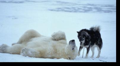 ijsbeer_husky